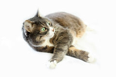 Gato grande surpreendido por algo Fotografia de Stock Royalty Free