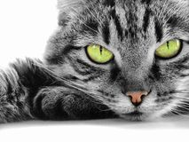 Gato Green-eyed Fotografia de Stock Royalty Free