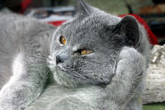 Gato gris Fotografía de archivo libre de regalías