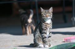 Gato gris Foto de archivo libre de regalías