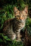 Gato gris Imágenes de archivo libres de regalías