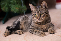 Gato gris Imagen de archivo