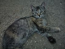 Gato gris fotos de archivo libres de regalías