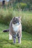 Gato gris adulto lindo que se coloca en la hierba Fotografía de archivo