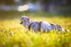 Gato gris adulto mullido en la hierba verde que silba y que muestra descontento Imágenes de archivo libres de regalías