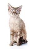 Gato gris agradable del rex de Devon imagen de archivo