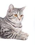 Gato gris aislado Fotografía de archivo libre de regalías