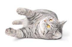 Gato gris aislado Imagen de archivo
