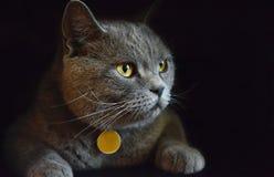 Gato gris bonito y lindo en estudio oscuro fotografía de archivo libre de regalías