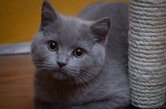 Gato gris británico de pelo corto Imágenes de archivo libres de regalías