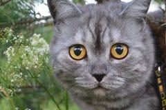 Gato gris británico en un paseo del verano con una sensación divertida sorprendida, encima de un árbol Cara a cara, mirando en fr foto de archivo