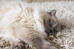 Gato gris con los ojos azules fotografía de archivo