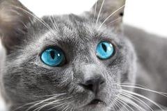 Gato gris con los ojos azules hermosos un fondo blanco aislado Fotos de archivo
