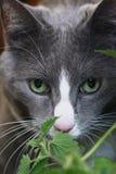 Gato gris con los ojos verdes Imagen de archivo libre de regalías