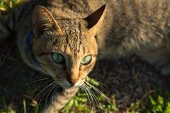 Gato gris con los ojos verdes en fondo de la hierba verde Caza del gato nacional afuera Imagenes de archivo