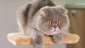 Gato gris criado en línea pura del doblez del escocés metrajes