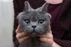 Gato gris, de orejas ca3idas con los ojos amarillos enormes fotografía de archivo