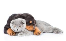 Gato gris del abarcamiento del perrito del rottweiler el dormir Aislado en blanco Fotografía de archivo