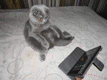 Gato gris del doblez del escocés Imágenes de archivo libres de regalías