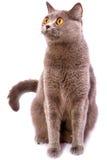 Gato gris del shorthair británico con los ojos brillantes del amarillo aislados en a Foto de archivo libre de regalías