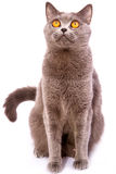 Gato gris del shorthair británico con los ojos brillantes del amarillo aislados en a Imagenes de archivo