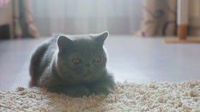 Gato gris del shorthair en un piso gris almacen de metraje de vídeo