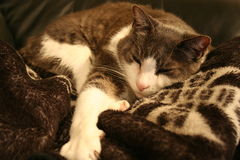 Gato gris del sofá Fotos de archivo libres de regalías