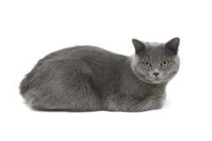 Gato gris (edad 10 0 meses) que mienten en un fondo blanco Foto de archivo libre de regalías