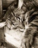 Gato gris el dormir Fotografía de archivo