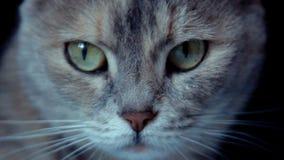 Gato gris en el fondo negro almacen de video