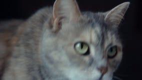 Gato gris en el fondo negro metrajes