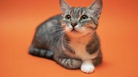 Gato gris en fondo anaranjado almacen de metraje de vídeo