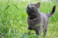 Gato gris en hierba Imagenes de archivo