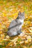 Gato gris en hojas amarillas Imágenes de archivo libres de regalías