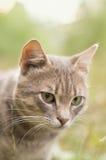 Gato gris en la naturaleza Foto de archivo libre de regalías
