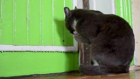 Gato gris en la oscuridad, rat?n en el piso verde