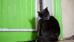 Gato gris en la oscuridad, rat?n en el piso verde metrajes
