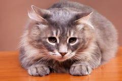 Gato gris en la tabla en fondo marrón en foto del estudio Foto de archivo libre de regalías