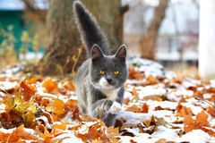 Gato gris en las hojas Fotografía de archivo libre de regalías