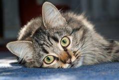Gato gris en un piso azul fotografía de archivo