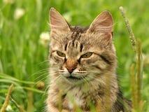 Gato gris en una hierba verde Fotos de archivo libres de regalías