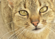 gato Gris-eyed foto de archivo libre de regalías