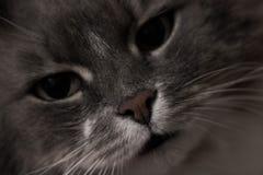 Gato gris hermoso Fotos de archivo libres de regalías