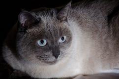 Gato gris hermoso con Imágenes de archivo libres de regalías