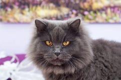 Gato gris hermoso con los ojos amarillos grandes Imagen de archivo