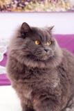 Gato gris hermoso con los ojos amarillos grandes Imagen de archivo libre de regalías
