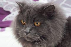 Gato gris hermoso con los ojos amarillos grandes Imágenes de archivo libres de regalías