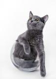 Gato gris hermoso en un florero de cristal Imagen de archivo
