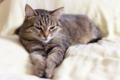 Gato gris hermoso que miente en la cama que estira sus piernas, con los ojos semicerrados fotos de archivo
