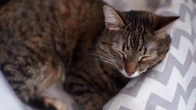 Gato gris joven hermoso que duerme en su cama El gato respira y menea su bigote metrajes